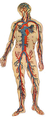 Anatomy Clipart provided by Classroom Clip Art (http://classroomclipart.com)